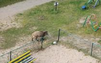 Dziki na placu zabaw w Chyloni