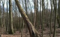 """""""Zdrowe"""" drzewo ocalone przez..."""