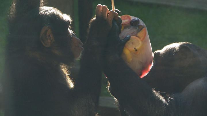 Zobacz, jakie zwierzęta jedzą lody wZOO.