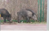 Dziki przy ul. Jelitkowskiej w Gdańsku