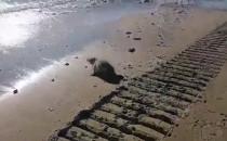 Foka na plaży w Orłowie - sunie do morza :)