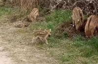 Dziki na Strzyży