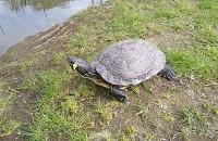 Żółw w Parku Oruńskim