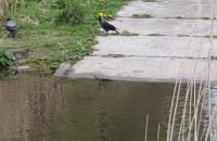 Ptak kontratakuje: szczur ucieka