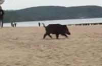Dzik na plaży w Sopocie