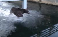 Łoś utknął w kanale Raduni