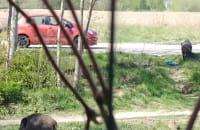 Dziki na Osowej