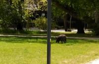 Dzik spaceruje po parku w Sopocie