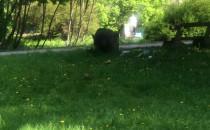 Dziki w parku Kolibki