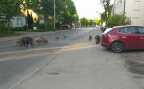 Dzikie dziki na Słowackiego