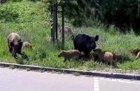 Dzikie świnie w Osowej