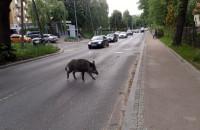 Dzik na jezdni wstrzymuje ruch w Oliwie
