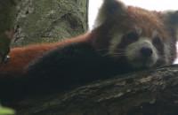 Samica pandy małej przyjechała do gdańskiego zoo