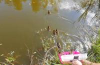 Strażnicy miejscy uratowali kaczuszki