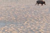 Dziki na plaży w Brzeźnie