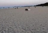 Niczego się nie boją. Dziki żerują na plaży