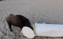 Dziki na plaży w Jelitkowie