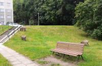 Dziki przy blokach w Oliwie