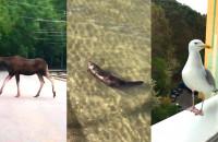 """""""Dzikie"""" zwierzęta w mieście. Zaskakujące filmy czytelników"""