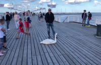 Ranny łabędź na molo w Sopocie