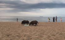 Dziki na wieczornym spacerze po plaży