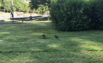 Poranny spacer kaczek na Witominie