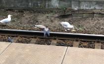 Ptasia wyżerka na torach