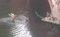 Kacze harce przy Moście Miłości na kanale...