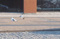 Mewa pożera kawkę (ptaka)