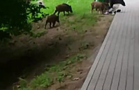 Wyszkolone dziki na Tatrzańskiej w Oliwie