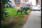 Sprytne dziki dobierają się do kosza na śmieci