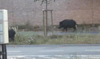 Dziki spacerują al. Hallera w Brzeźnie