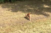 Zagubiony lis w centrum Gdańska