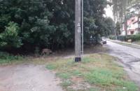 Dziki spacerują w Oliwie
