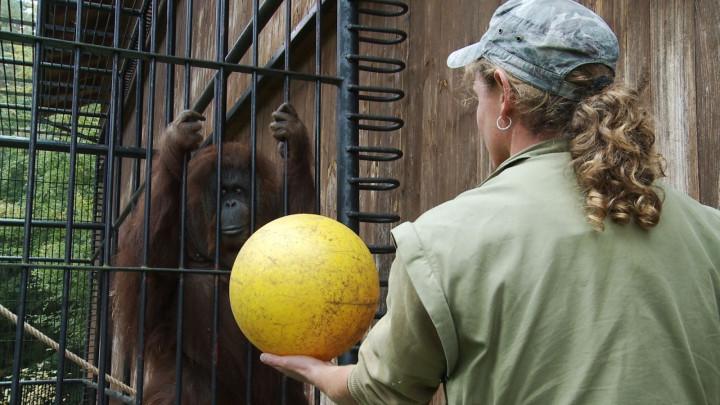 Zajęcia gimnastyczne najstarszych orangutanów wPolsce.