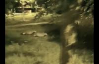 Borsuki spacerują na Zaspie
