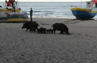 Rodzina dzików na plaży