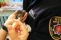 Straż Miejska karmi kocięta