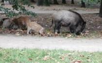 Dziki w parku Tysiąclecia