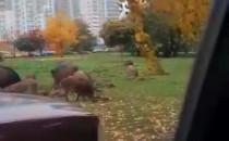 Dziki w parku na Zaspie