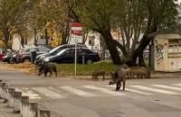 Dziki na osiedlu Zaspa Rozstaje