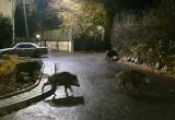 Dziki spacerujące po gdyńskim Grabówku