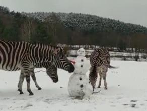 Zebry w zoo poznają bałwana
