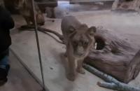 Co zimą robią lwy z gdańskiego zoo?