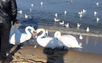 Ptasia stołówka na plaży w Brzeźnie