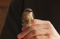 Obrączkowanie ptaków przy karmniku
