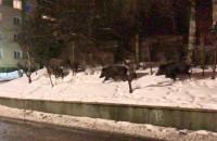 Wesoła rodzinka dzików w Sopocie