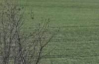 Żurawie w Gołębiewie Wielkim