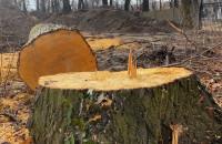 Te drzewa miały ponad 100 lat. Wycinka zgłoszona do prokuratury