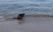 Bóbr zażywa kąpieli na plaży w Jelitkowie
